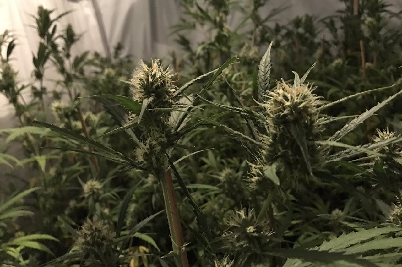 cannabis-geneest-nog-geen-kanker