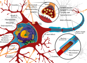 Hersencellen-figuur-1